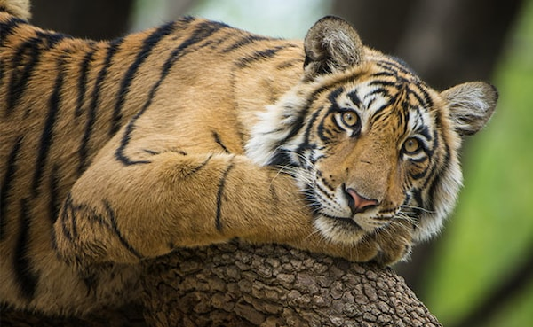 International Tiger Day: India Home To 70% Of These Ferocious Striped Cats Found Globally