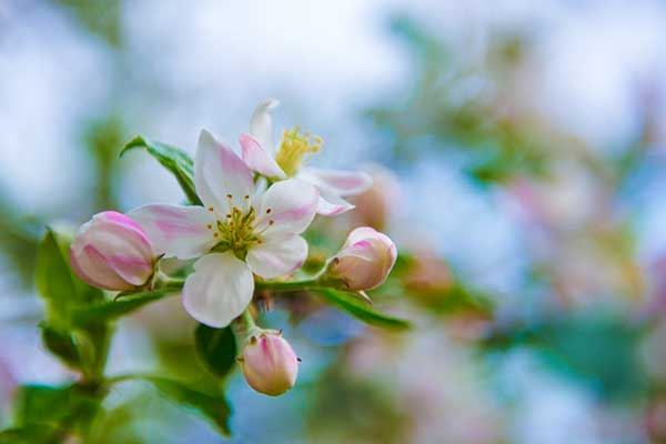 Apple Blossom Flower