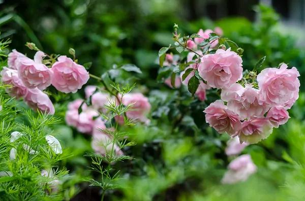 Bonica Rose 1555325793736