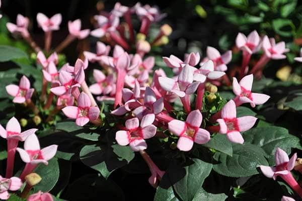Bouvardia Flowers 1555320253090