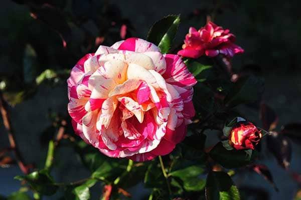 Broceliande Rose 1555325819537