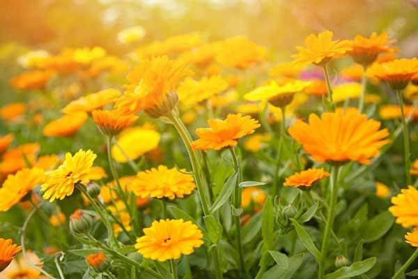 Calendula Flowers 1555322443654