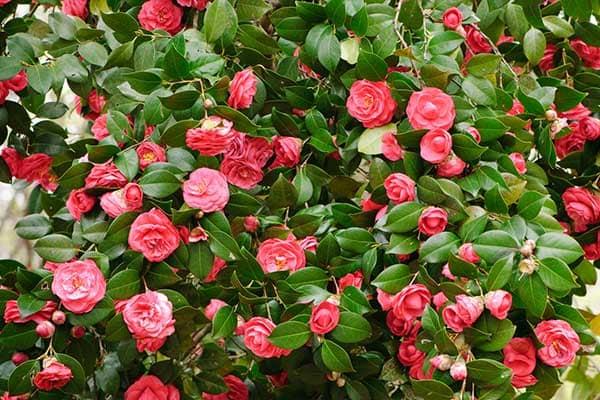 Camellia Flowers 1555322549221