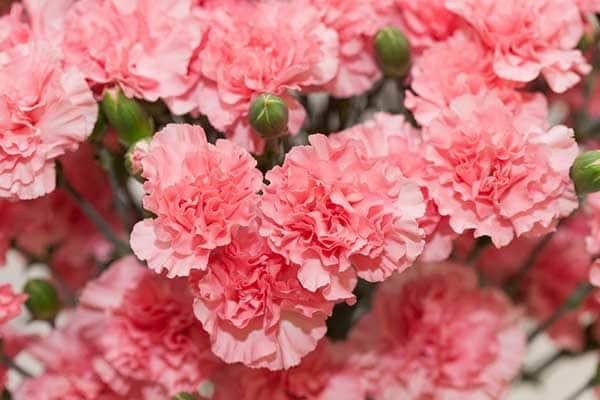 Carnation Flowers 1555322510675