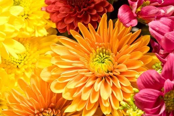 Chrysanthemum Flower 1555322800154
