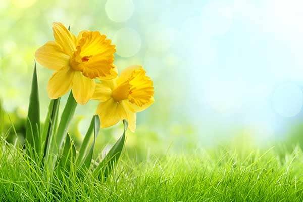 Daffodil Flower 1555322731374