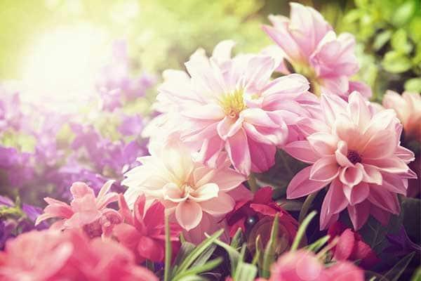 Dahlia Flower 1555322753569