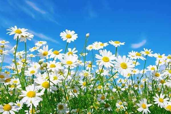 Daisy Flower 1555322776175