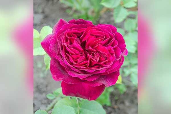 Falstaff Rose 1555326124907
