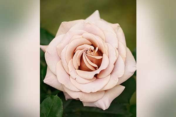 Koko Loco Rose 1555325843109