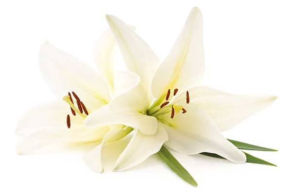 Lily Flower 1555322708208