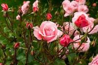 21 Most Beautiful Roses