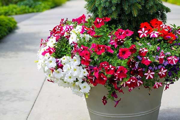 Petunia Flower 1555322824680