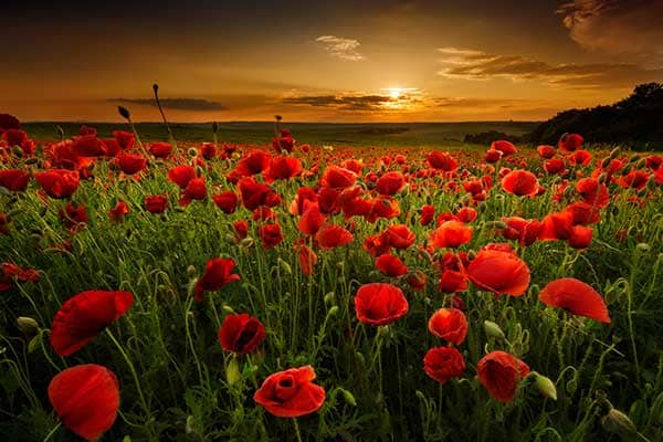 Poppy Flowers 1555322485327