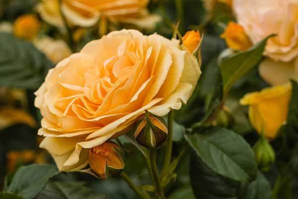 Queen Amber Rose 1555326170832