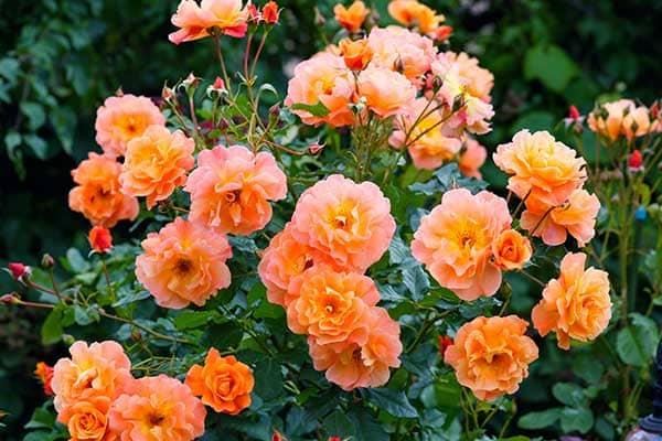 Shrub Rose 1555325763508