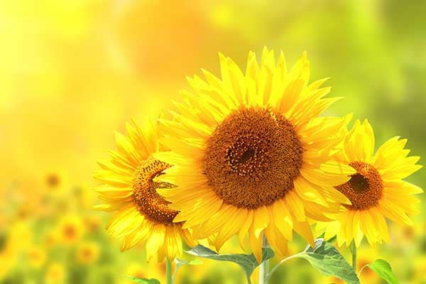 Sunflower Flower 1555322846784