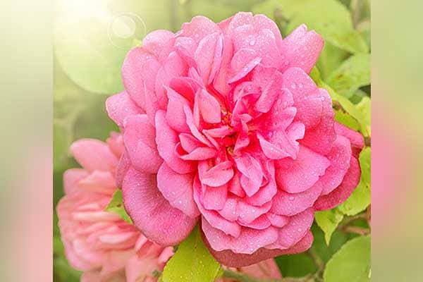 Tea Rose 1555325923590
