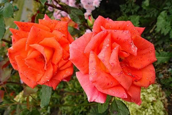 Troika Rose 1555326197365