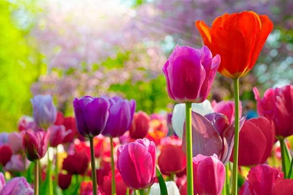 Tulip Flowers 1555322572911