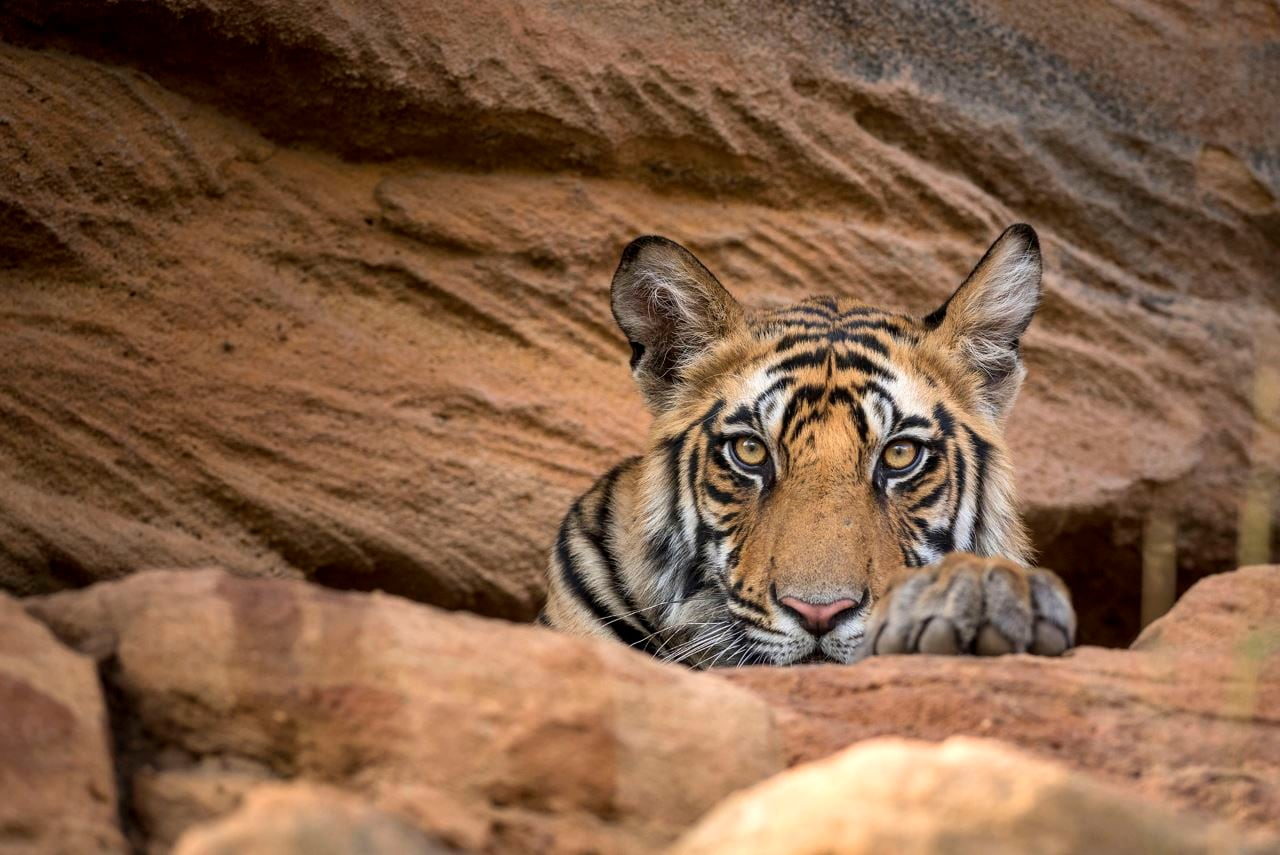Sony BBC Earth to Air Sir David Attenborough's Dynasties in India in December