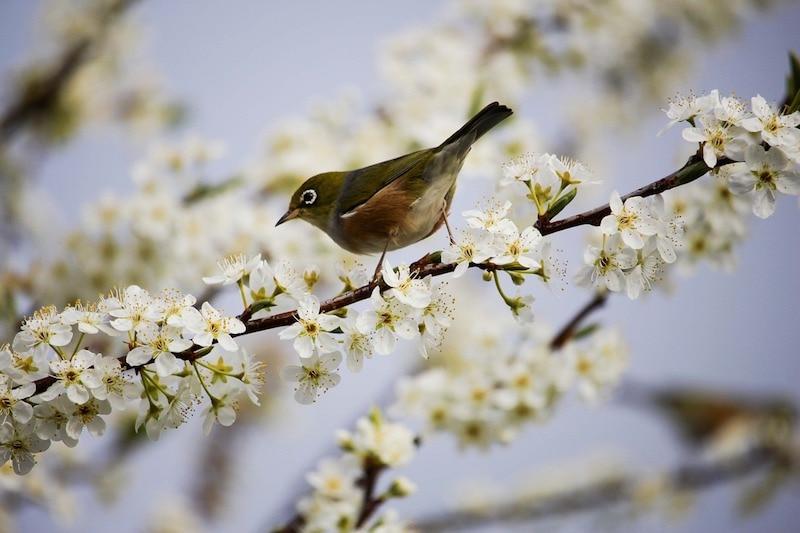 bird blossom pixabay Bird