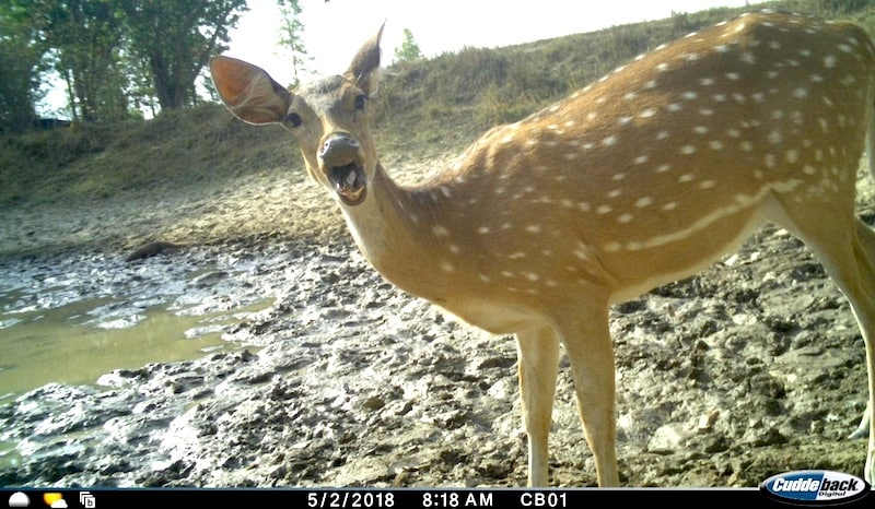 chital surprised tara wildlife