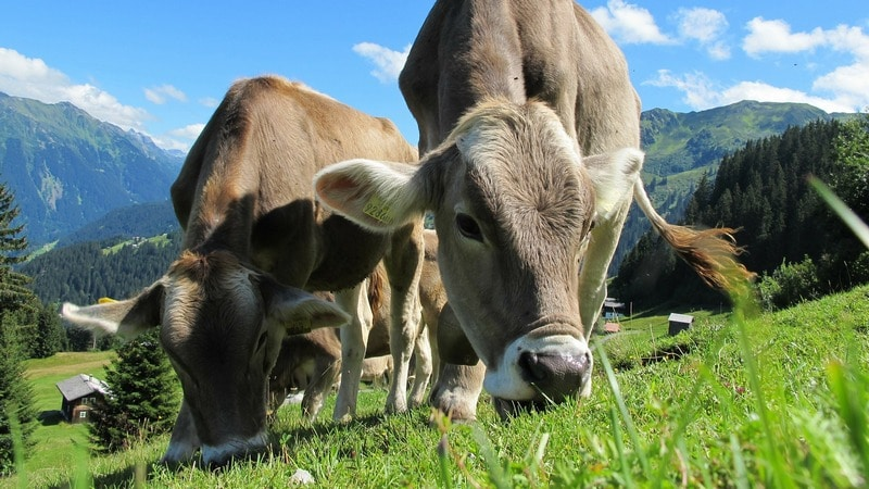 Cows Get Their Own Tinder-Style App for Breeding in UK