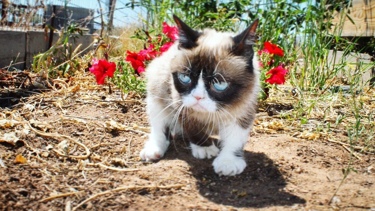 Grumpy Cat, the feline internet legend, dies at age 7