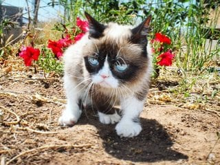 Grumpy Cat, Internet Star, Dies at the Age of 7
