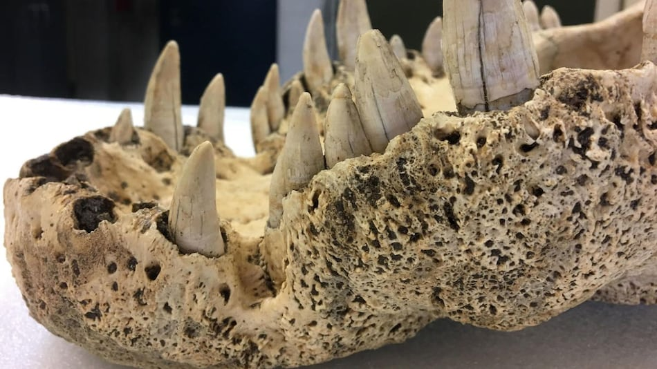 Extinct Horned Crocodiles of Madagascar Earn Their Spot as 'True' Crocodiles