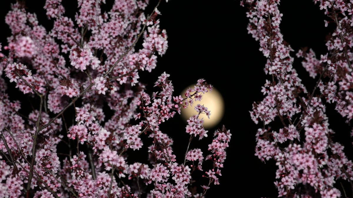 April's Pink Moon 2019: What Is It, Timings, and How Can You Watch the Full Moon?