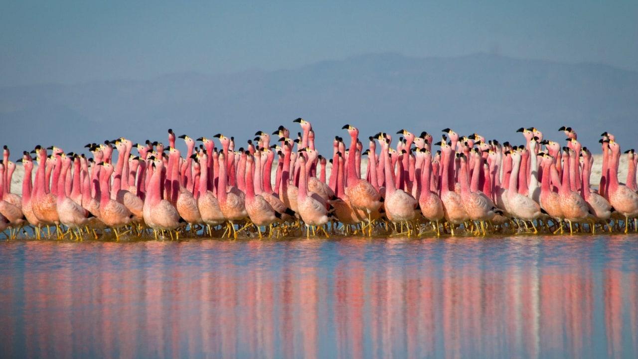 planet earth 2 flamingoes Planet Earth II BBC flamingoes