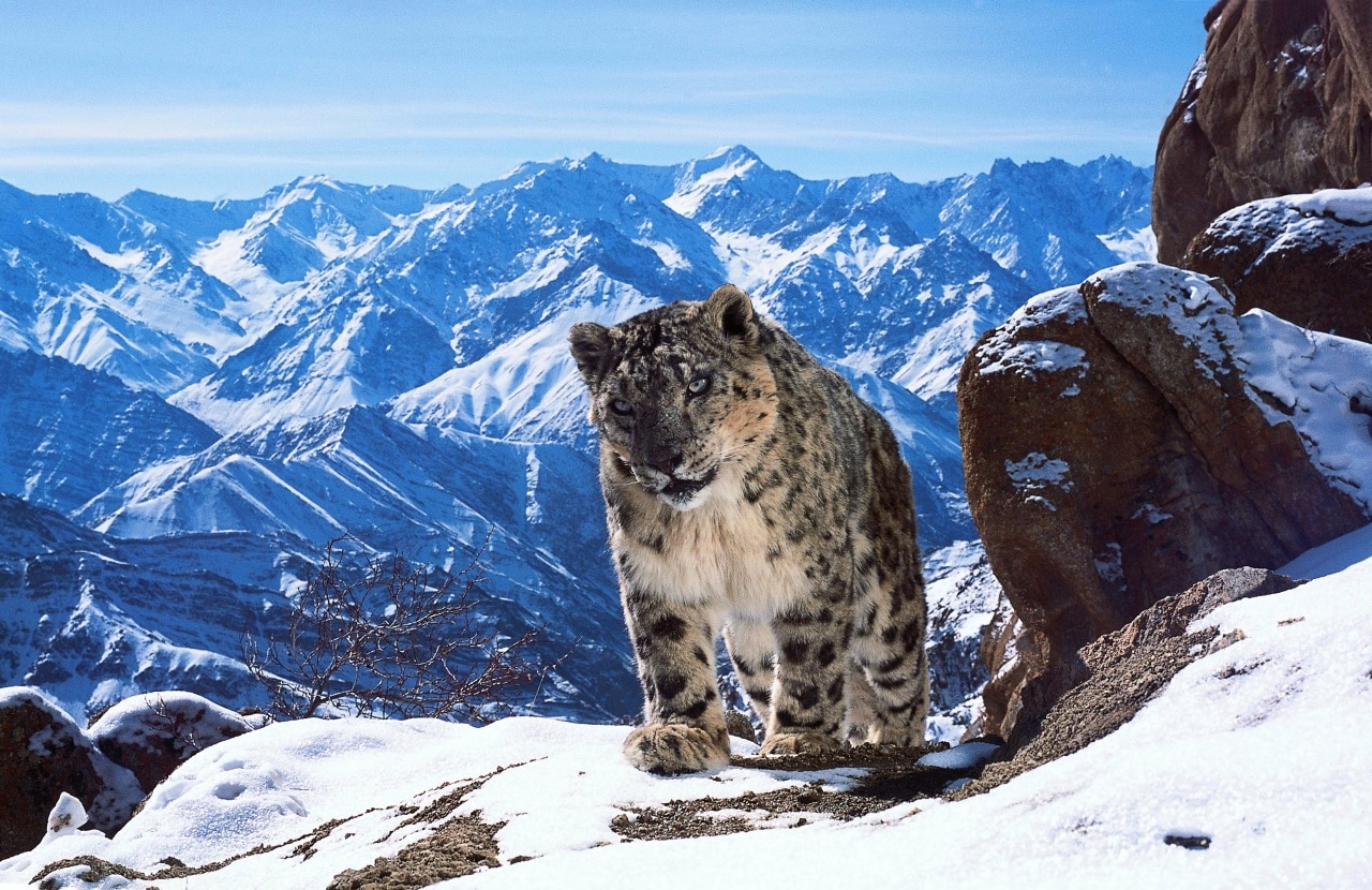 Planet Earth II - Snow Leopards, Pole-Dancing Bears, and Mountain Life