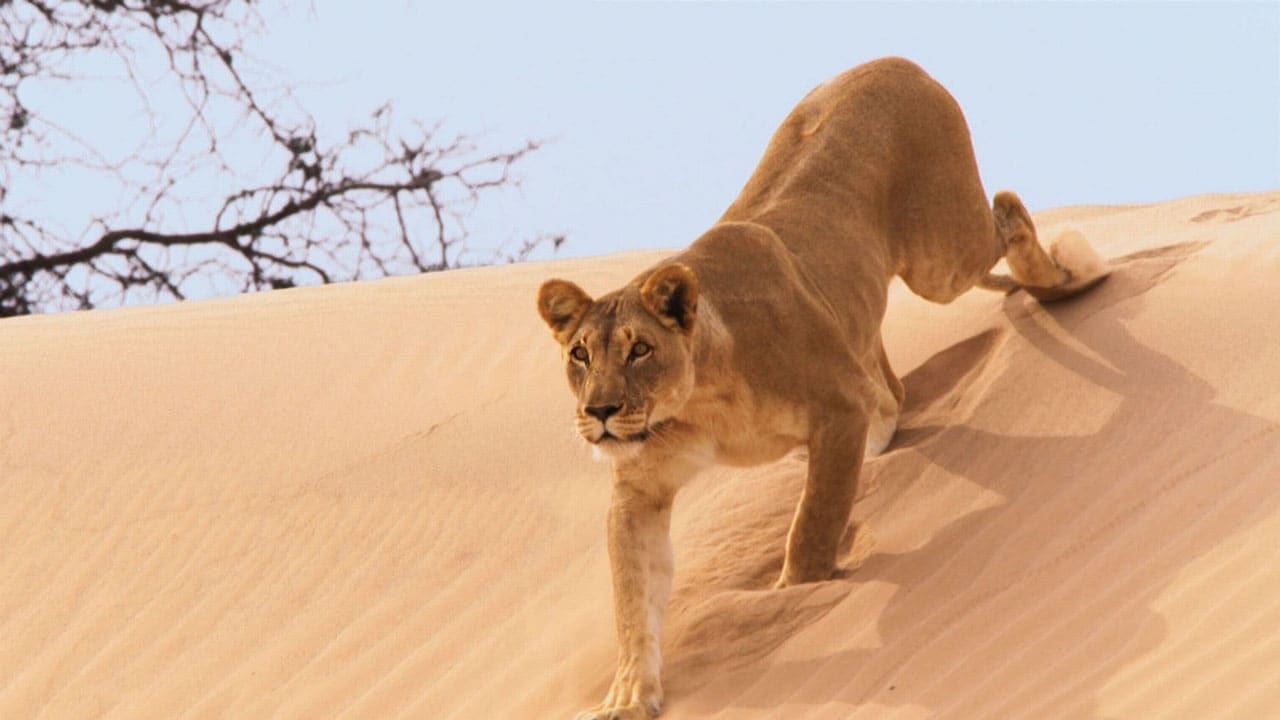 Planet Earth II - African Lions, Struggle for Water, and Desert Survival Tactics