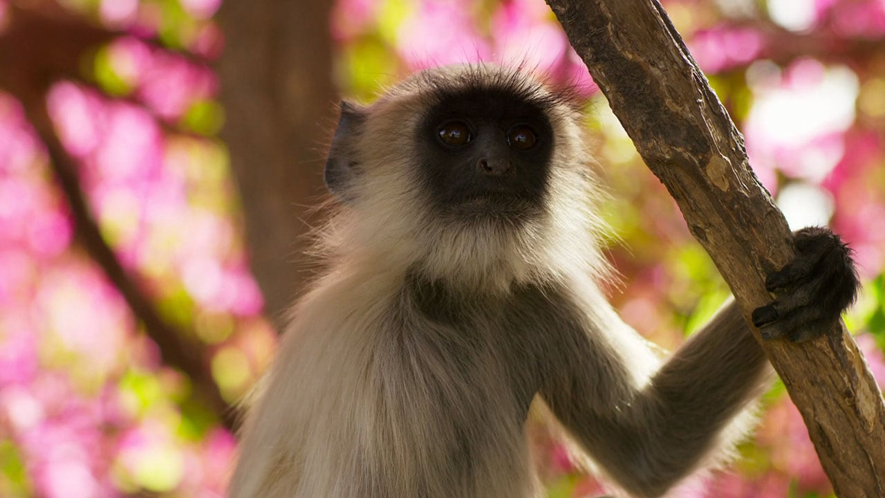 Planet Earth II - India's Langurs, New York Falcons, and Wildlife in Cities
