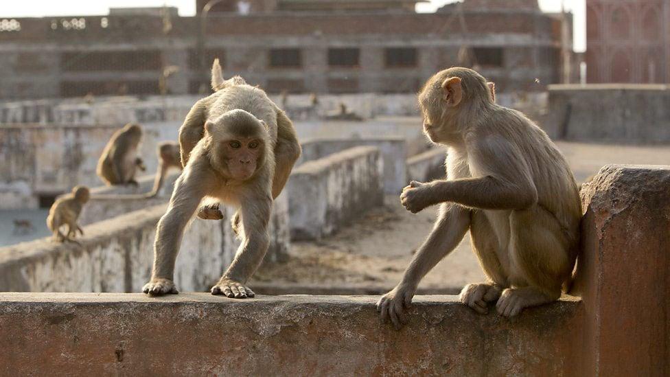 planet earth ii monkeys jaipur Planet Earth II BBC monkeys Jaipur