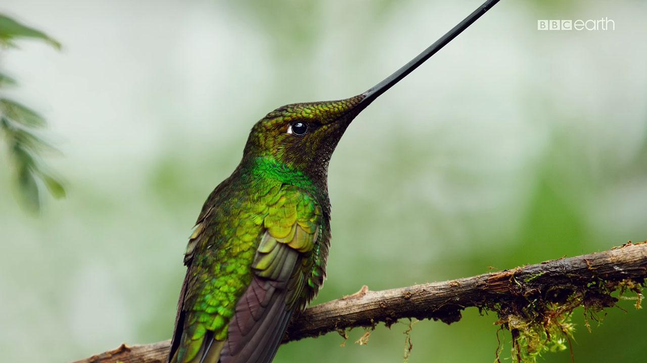 planet earth ii swordbilled Planet Earth II Jungles BBC sword billed hummingbird