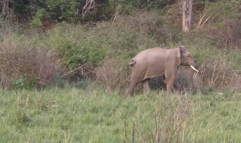 Gajah gading Prashant Locus