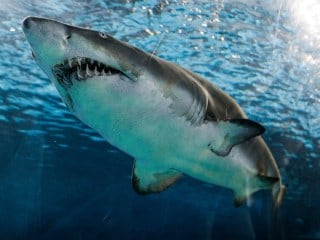 Sharks' Diversity Remained Static When End-Cretaceous Mass Extinction Wiped Out Dinosaurs: Study