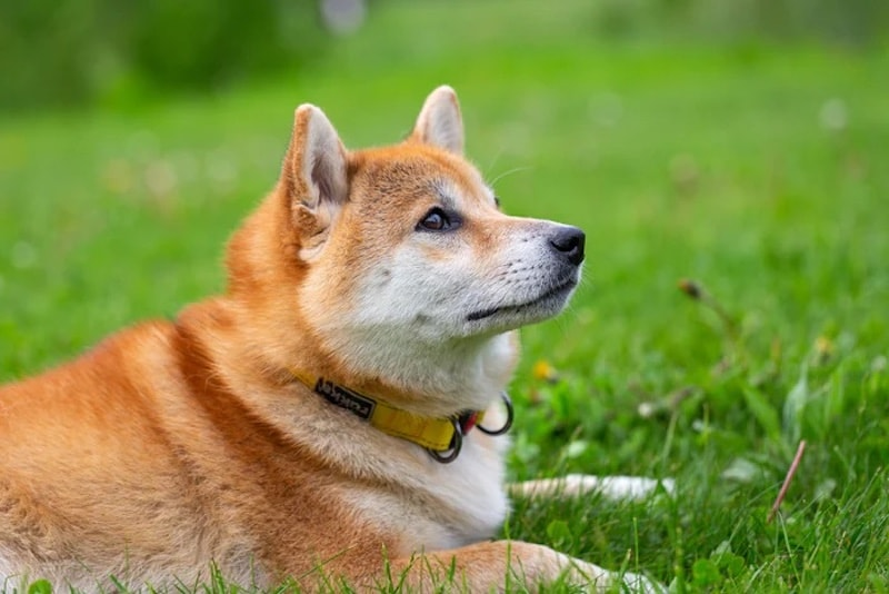 SHIB Whale Buys 6.3 Trillion Shiba Inu Tokens Over Two Days, Boosting Prices